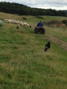 Here she is bringing up the rear! Lol!  She helped Andy's two collies Maid and Chip.