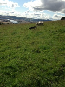 Gus fetching the sheep on the hill.